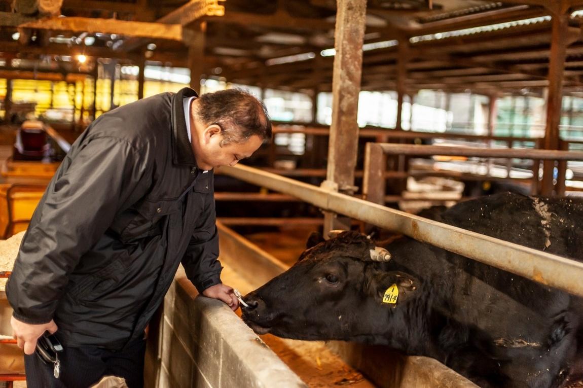 鳳来牛を見つめる内藤さん